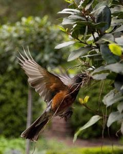 robin_in_garden