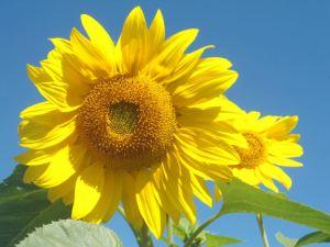 sunflwer_2012_emailver1