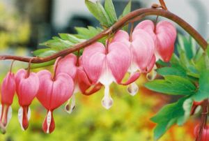 bleeding_heart2_emailver1