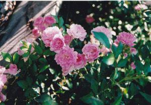 rose_fairy_emailver