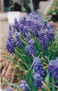 grape hyacinths_emailver
